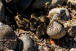 beaumarius baby ducks (1 of 1)