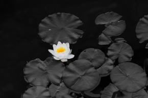 BC lily pad BW