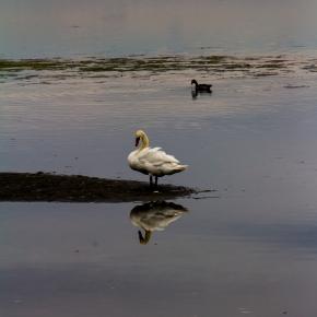 BC swan (1 of 1)