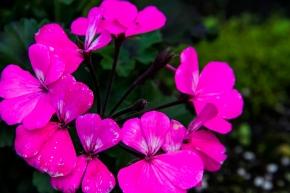 Pretty Pansies-2614