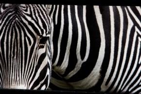 Zebra Finale-1562