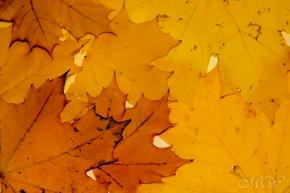 leaves2 (1 of 1)