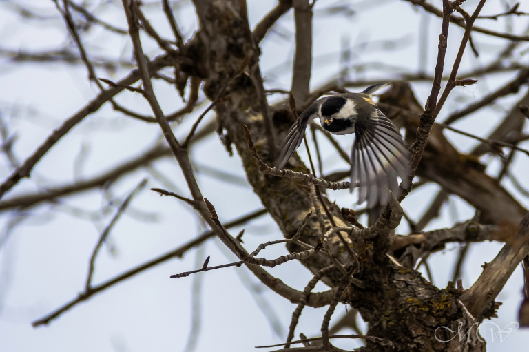 flying chickadee mw (1 of 1)