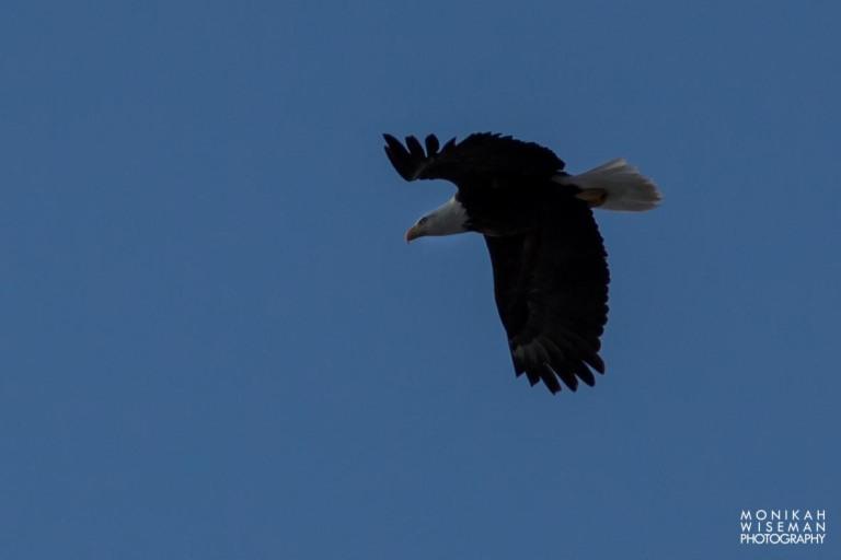 Bald Eagle 1 (1 of 1)