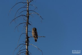 Great Grey Owl 1 (1 of 1)