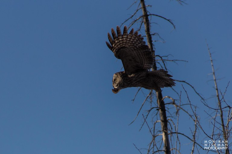 Great Grey Owl 2 (1 of 1)