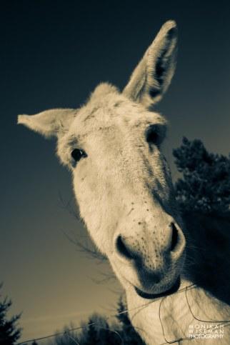 Mule 2 (1 of 1)