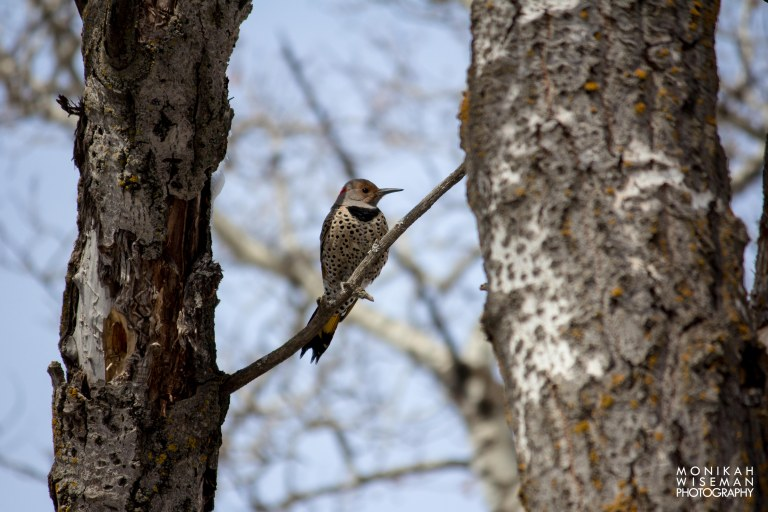 Northern Flicker2-2895