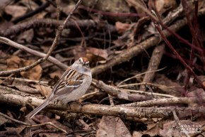 American tree sparrow looking up