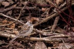 American tree sparrow looking up