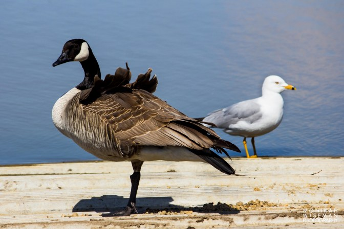 Goose and gull 2