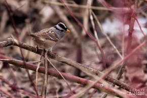 White crowned sparrow jumping