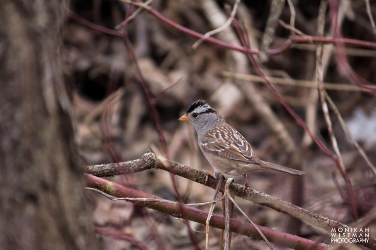 White crowned sparrow tuft