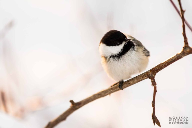 Edmonton Black Capped Chickadee