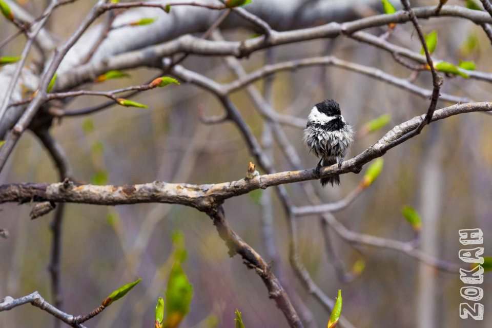 Wet Chickadee