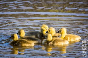 Z Low Res Goslings and Chipping Sparrow-0187