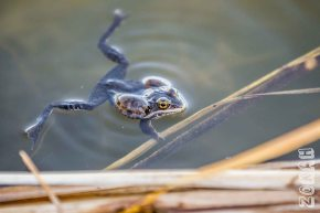 Z Low Res Mating Frogs-0179