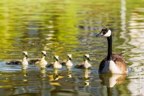 Low Res Goslings June 3-8230